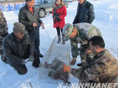 新疆裕民县首次发现国家二级保护动物猞猁