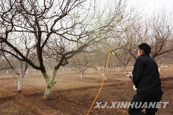 3月6日,伽师县江巴孜乡林果专业技术服务队正在对杏树喷施石硫合剂.