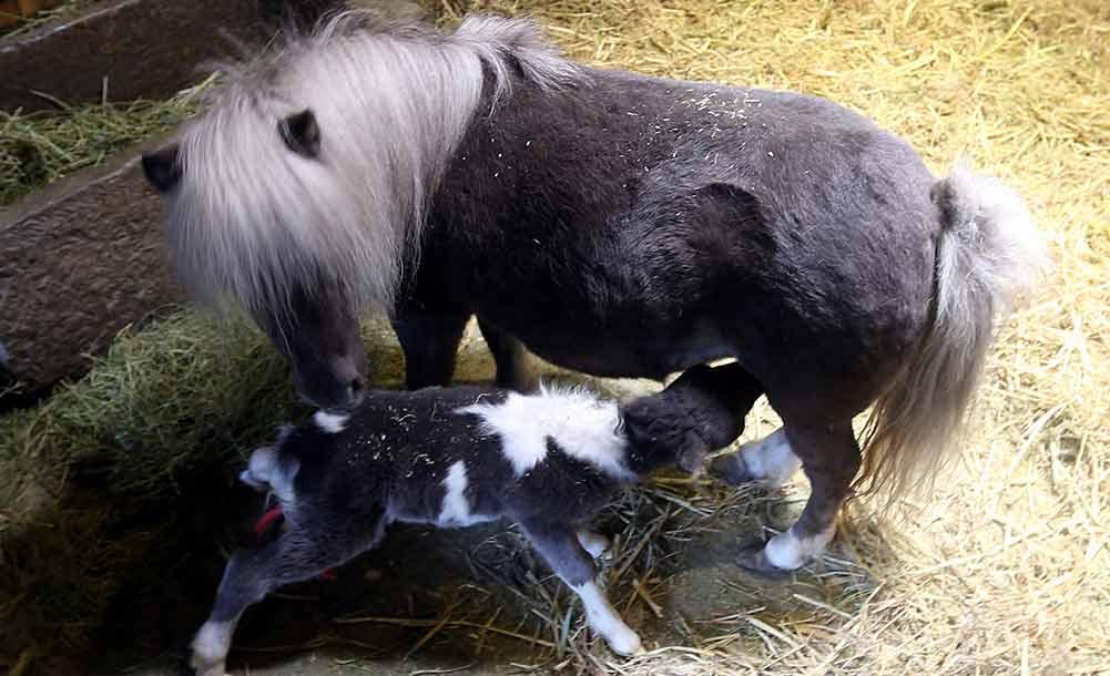 澳大利亚矮马新疆诞下小马驹