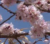 吐鲁番乡间杏花盛开 新疆的春天这里最先到来