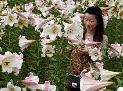 龍牙百合花正艷