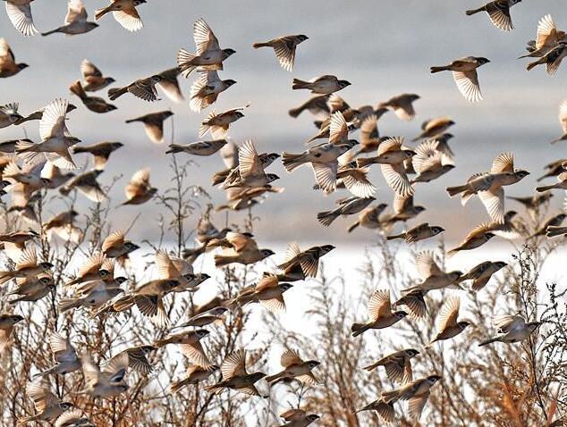 金龍湖上空的麻雀