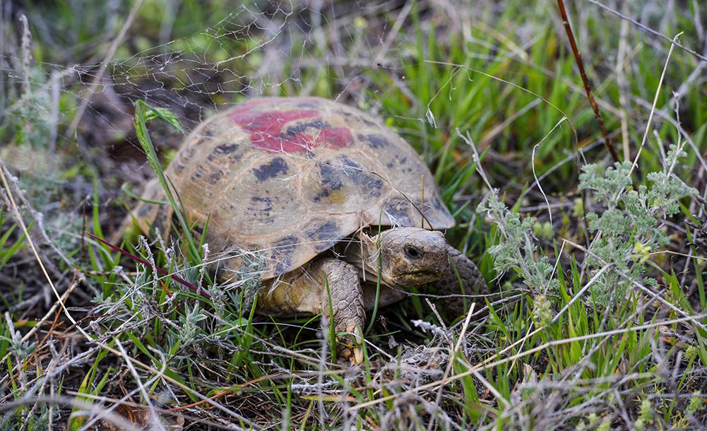 新疆加大对濒危物种四爪陆龟的保护力度