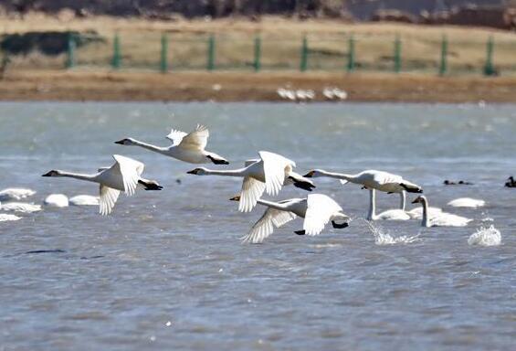 壩上濕地天鵝舞