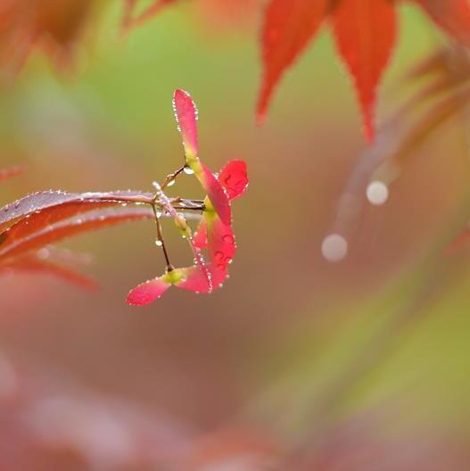 """春日""""楓""""景"""