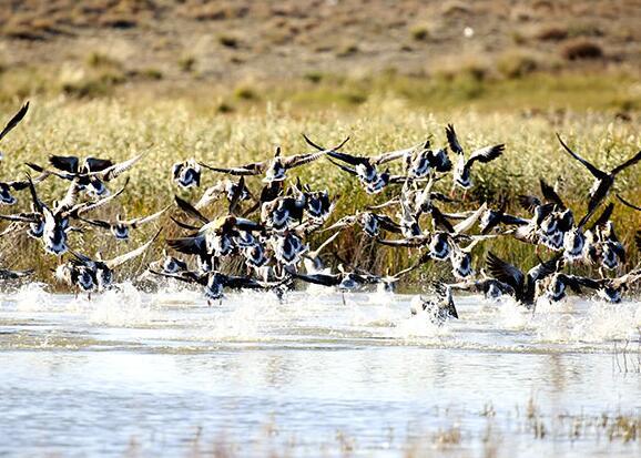 阿勒泰科克蘇濕地迎來大批南遷候鳥
