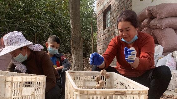 新疆和田:小核桃大産業 脫貧攻堅身手顯