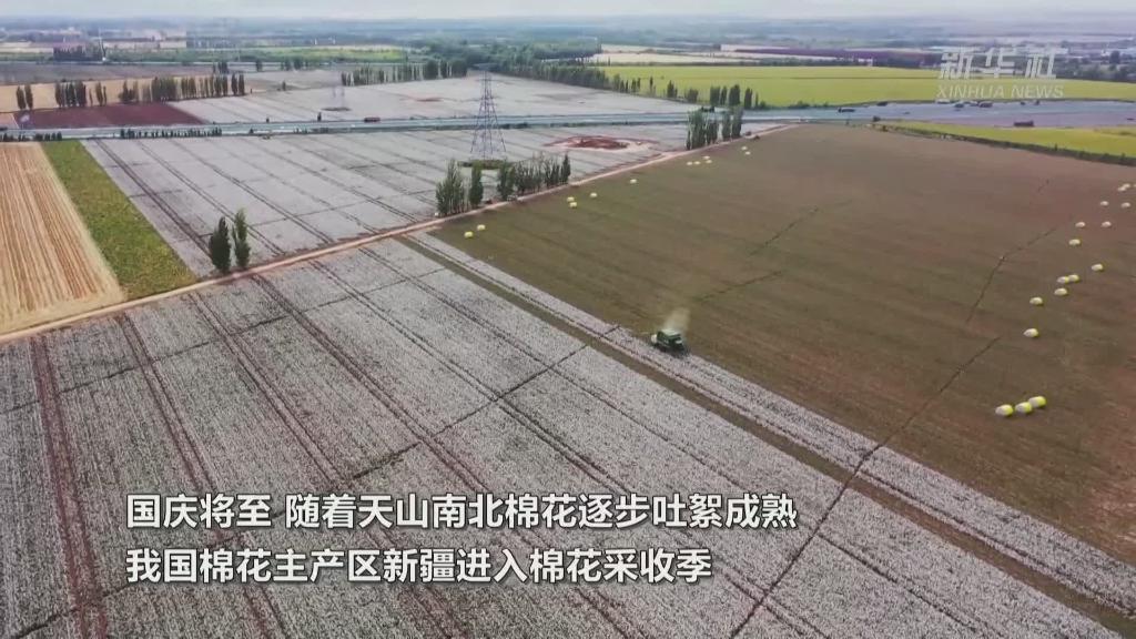 新疆棉花進入採收期