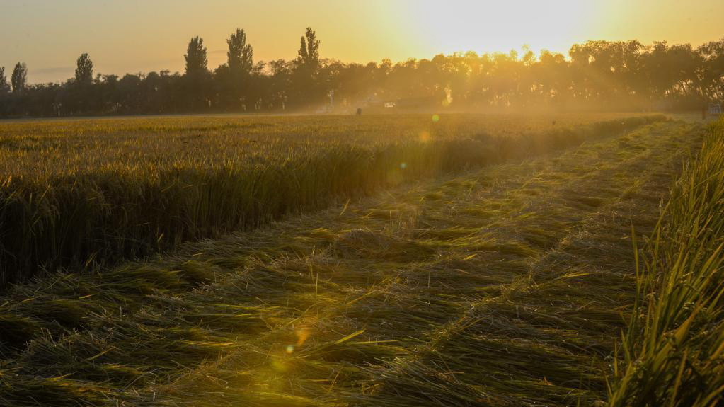新疆可克達拉:稻谷黃、收割忙