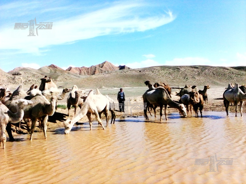 别德尔汗骑摩托把驼群赶到一处像 细心的别德尔汗为了防止驼群啃林